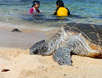 Enjoy snorkeling with the turtles and tropical fish on Hawaii's many beaches.